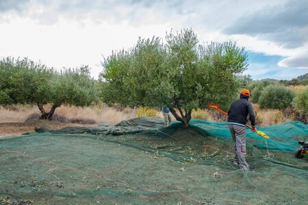 Farmers picking olives in Greece, Crete. Harvesting fresh olives, olive oil production. Picking olives with electric comb. Greek olive agriculture.