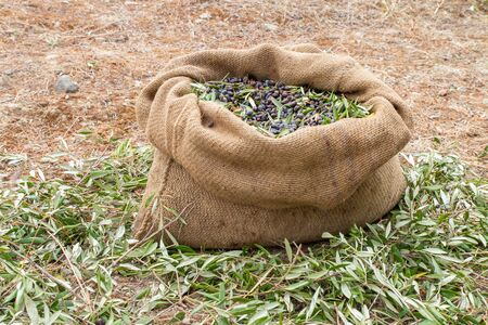Sackcloth bag full on fresh olives. Olives harvesting in Crete, Greece.  Harvest of fresh olives from the tree for the production of extra virgin olive oil.