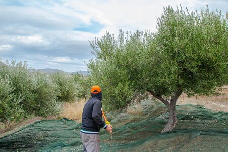 Farmers picking olives in Greece, Crete. Banco de Imagens
