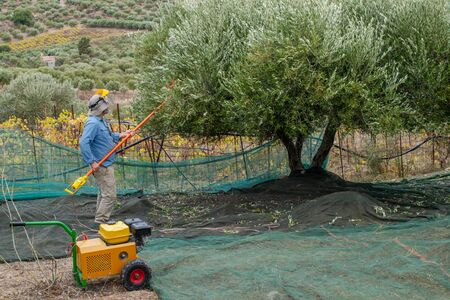 Farmer picking olives in Greece, Crete.=