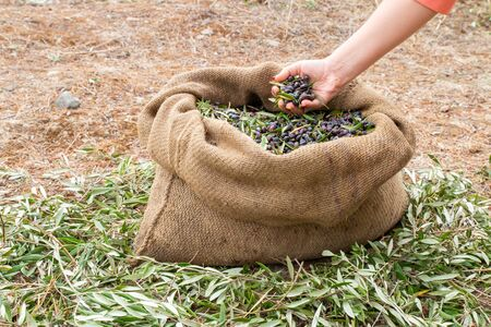 Expert of quality hands checking mediterranean olives. Sackcloth bag full on fresh olives.
