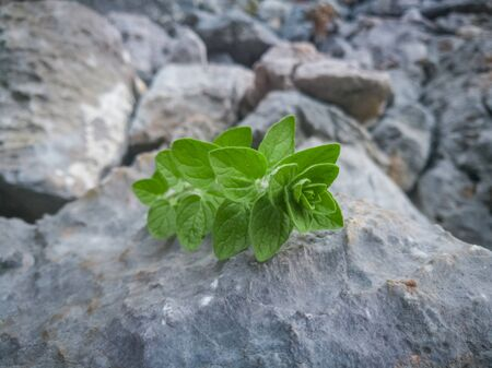 Fresh oregano leaves seasoning on natural stone background. Wild oregano in the mountains.