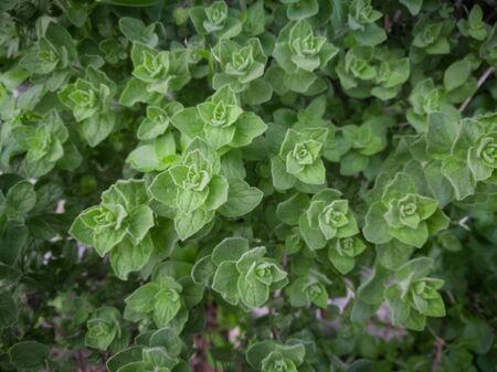 Wild oregano grows in the mountains. Raw green Oregano in field. Greek natural herb oregano. Green and fresh oregano flowers. Aromatic culinary herbs.
