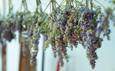 Bunches of lavender flowers hanging outdoor for drying. Bunch of Lavanda flowers with blurred background. Beautiful Greek wild lavender, drying.