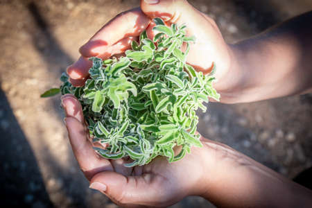 A woman holding a bouquet of raw sage in her hands. Wild Sage herb bunch. Aromatic sage plant on natural background in forest. Herbs concept. Hands hold a bunch of medicinal herbs. Banco de Imagens