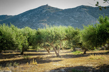 Olive plantation with old olive tree in the Crete, Greece. Colorful olive tree on blue sky background. Old olive tree in green landscape.