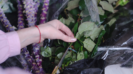Closeup view of florist at work: woman cuts packaged roses in a flower shop