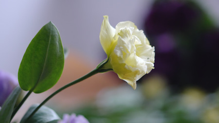 Yellow flower eustoma close-up with bokeh Banco de Imagens
