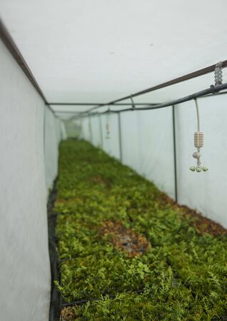 Sprinklers hang in a wet greenhouse over coniferous seedlings of plants. Automatic irrigation system in agriculture. Watering machine over evergreen thuja in cassettes