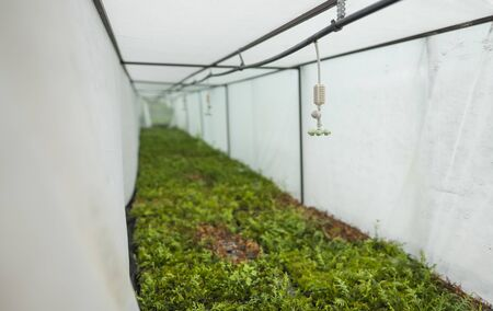 Greenhouse with coniferous seedlings in the agricultural sector. Lots of green seedlings in small pots under a sprinkler system. Banque d'images