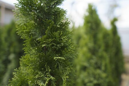 Small business selling plants. An alternative to the Christmas tree, an evergreen plant that you can plant in the ground. Stock Photo