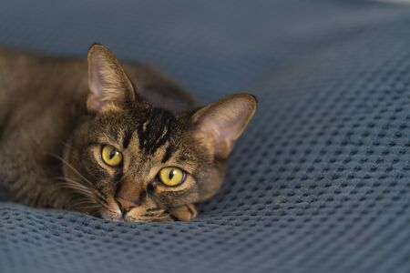 The cute Abyssinian cat lies on the bed and looks around. A pet with big eyes and beautiful paws relaxes