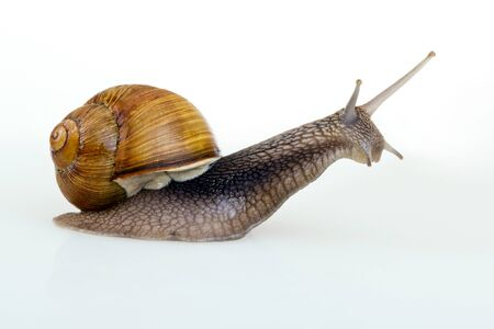 Studio portrait of a crawling snail.