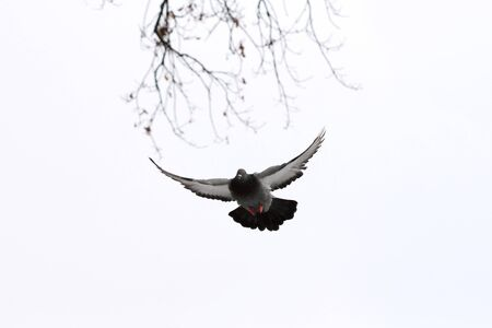 Gray dove flies in the sky against the background of autumn branches
