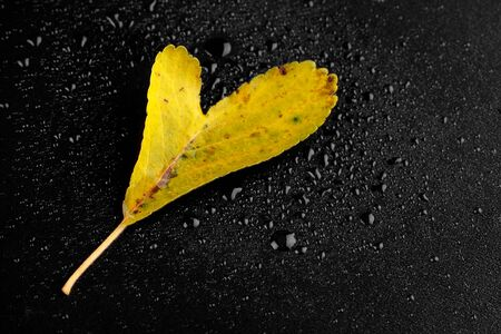 Wet autumn leave with a drop of dew on a dark background in the studio Zdjęcie Seryjne
