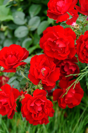 Red decorative roses bloom in a flowerbed in autumn