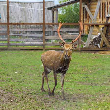 One deer with large horns in a spacious enclosure in the summer. Stock Photo