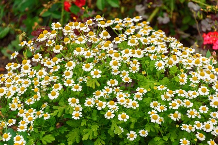 A flower bed with daisies background of white flowers close up a flower bed with daisies background of white flowers close up stock photo mightylinksfo