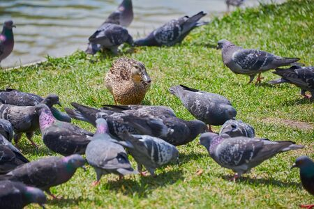 One duck and pigeons walk on the grass. In the summer, the birds do not look for food in the shore of the pond. Stock Photo