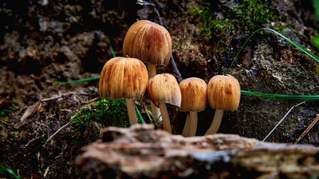 A group of small toadstool mushrooms in a forest close-up. Poisonous toadstool mushrooms. Danger to humans.