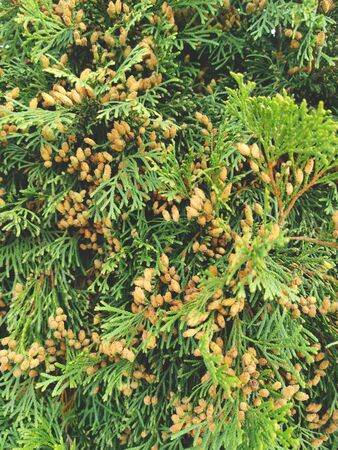 Thuja branches with cones close-up. Natural background made of thuja branches.