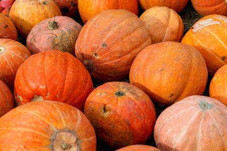 Beautiful ripe pumpkins. Harvest Festival. Collective farmers autumn harvest. Gorgeous autumn background with pumpkins.