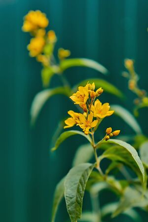 Beautiful yellow flowers close-up on green stems. Photo of flowers with shallow depth of field.