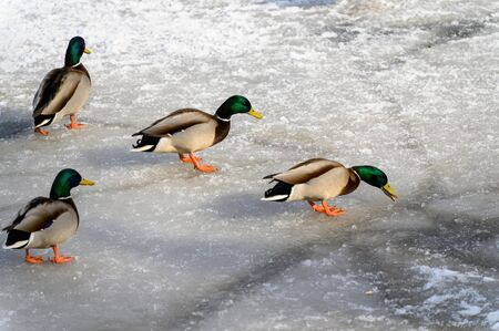 Ducks walk on ice in winter. Ducks on a frozen lake.