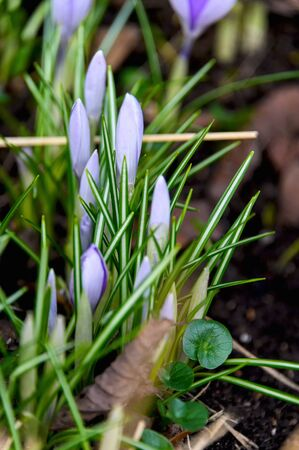 Flowering crocuses or crocuses with purple petals (Spring Crocus). Crocuses are the first spring flowers that bloom in early spring. Foto de archivo