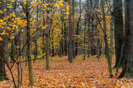 Yellowed trees and fallen leaves in the city Park in cloudy weather. Autumn landscape.