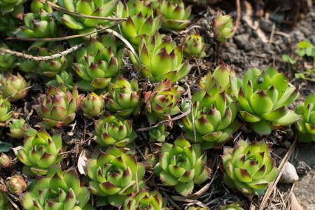 Sempervivum charadzeae, houseleeks or liveforever in spring garden close up