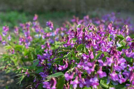 Purple flowers of Lathyrus vernus, spring vetchling, spring pea or blooming spring vetch in spring garden 스톡 콘텐츠