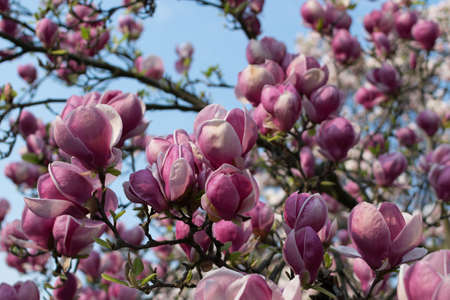 Flowering magnolia tree with white and pink flowers. Beautiful blooming spring garden on blue sky background