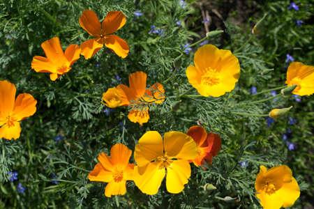 Orange flowers of eschscholzia californica or california poppy closeup with selective focus 스톡 콘텐츠