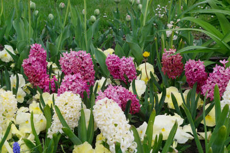 Lilac and white hyacinth flowers or hyacinthus in spring garden close up. Flowering blue-purple fragrant hyacinths