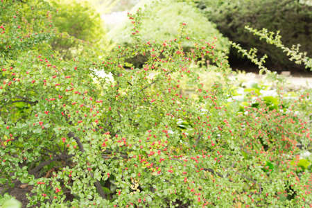 Blurred macro photo of summer berberis with selective focus. Beautiful green ornamental plant with red berries close up