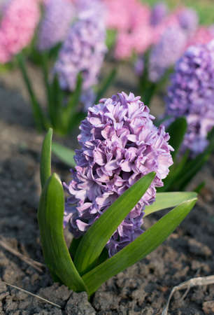 Blue and purple hyacinth flower or hyacinthus in spring garden close up. Flowering blue-purple fragrant hyacinths 스톡 콘텐츠