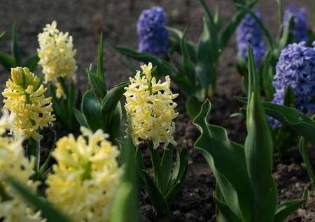Light yellow hyacinth flower or hyacinthus in spring garden close up. Flowering pastel fragrant hyacinths