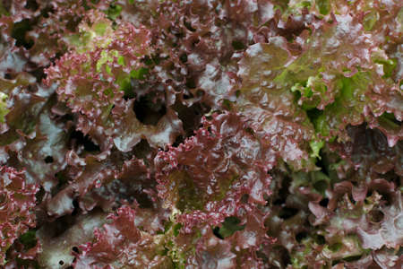 Fresh lush lettuce leaves background on herbal farm closeup. Brown organic Lactuca sativa texture or romaine pattern