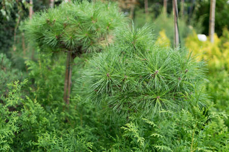 Blurred macro photo of decorative garden spruce or pine with selective focus. Beautiful green ornamental plant with long needles close up