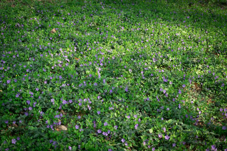 Spring lawn with blue botanical periwinkle plant or vinca minor flowers in garden. Natural floral background pattern