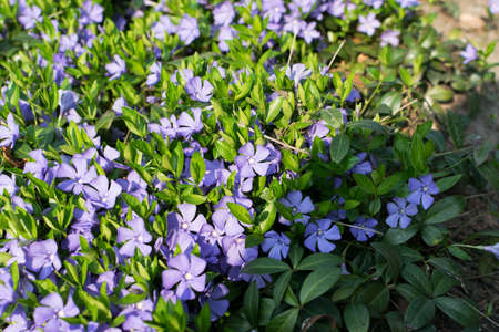 Blue flowering botanical periwinkle plant pattern or vinca minor flowers in spring garden. Many small lilac flowers on green grass background with bokeh