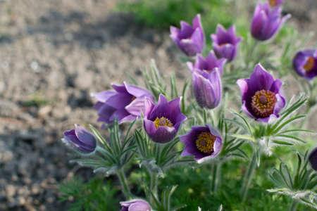 Purple flowers of Pulsatilla vulgaris, pasque flower, pasqueflower, common pasque flower, European pasqueflower in spring garden 스톡 콘텐츠