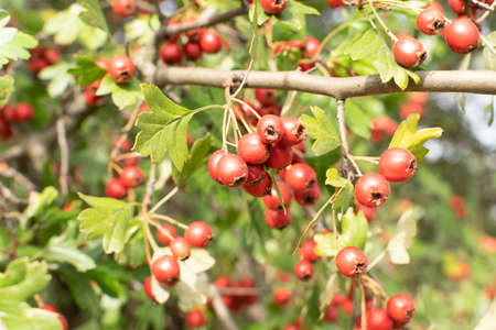Red berries of crataegus also called hawthorn, quickthorn, thornapple, whitethorn or hawberry. Crataegus monogyna in August