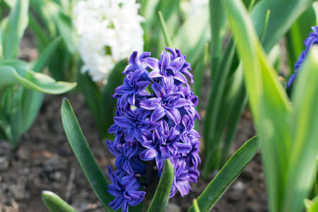 Blue hyacinth flower or hyacinthus in spring garden close up. Flowering blue-purple fragrant hyacinths