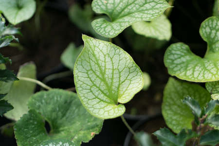 Blurred macro photo of decorative garden Brunnera or Brunera with selective focus. Beautiful green ornamental plant leaves in the family Boraginaceae