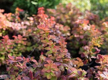 Blurred photo of berberis thunbergii, Crimson Pygmy or Japanese barberry on a Sunny autumn day. Thunbergs barberry or red barberry close up with selective focus 版權商用圖片