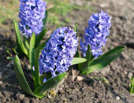 Niebieski hiacyntowy kwiat lub hiacynt w wiosennym ogrodzie z bliska. Kwitnące niebiesko-fioletowe pachnące hiacynty