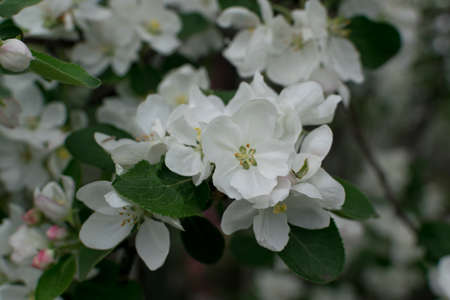 Beautiful Blossom Apple Tree Flowers and Buds on Nature Background. Blurred Macro Photo of White Flower with Bokeh Close Up 스톡 콘텐츠