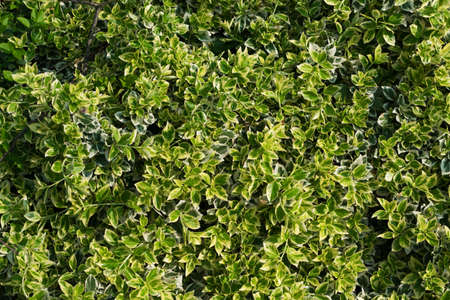 Euonymus fortunei, wintercreeper or spindle tree with green, yellow and white leaves background. Climbing euonymus or fortunes spindle evergreen shrub pattern Stock fotó